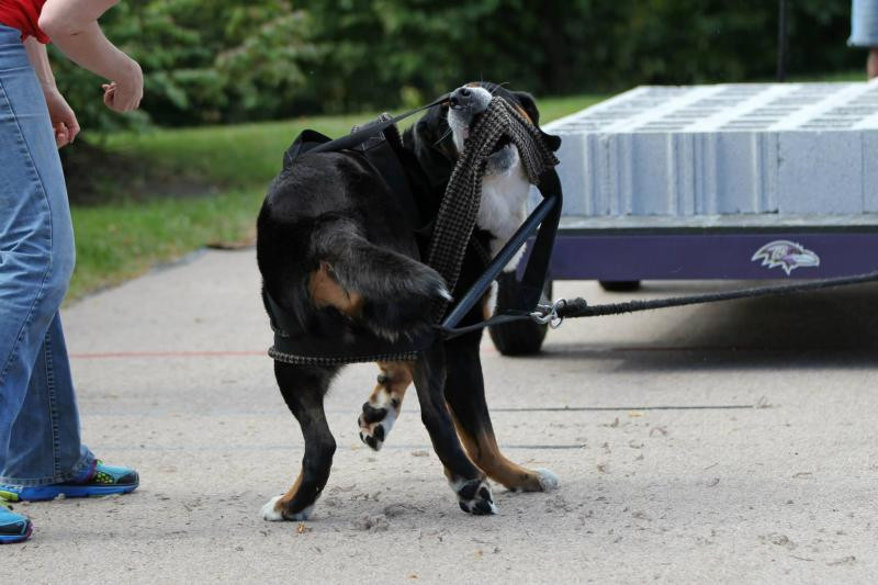 Greater swiss mountain dog pulling - photo#17