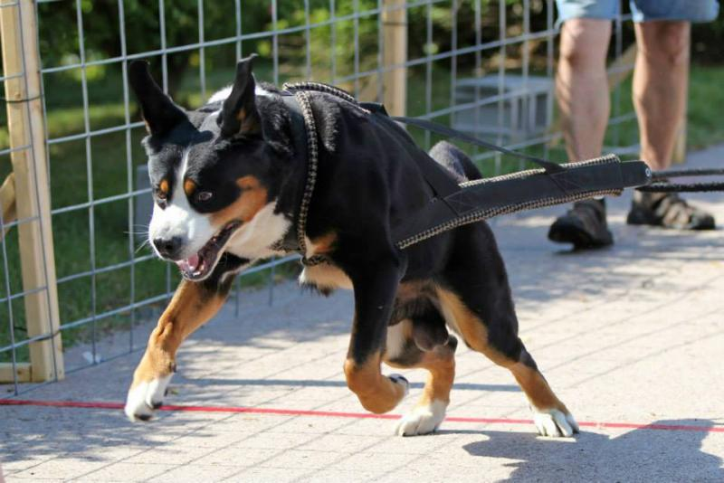Greater swiss mountain dog pulling - photo#18