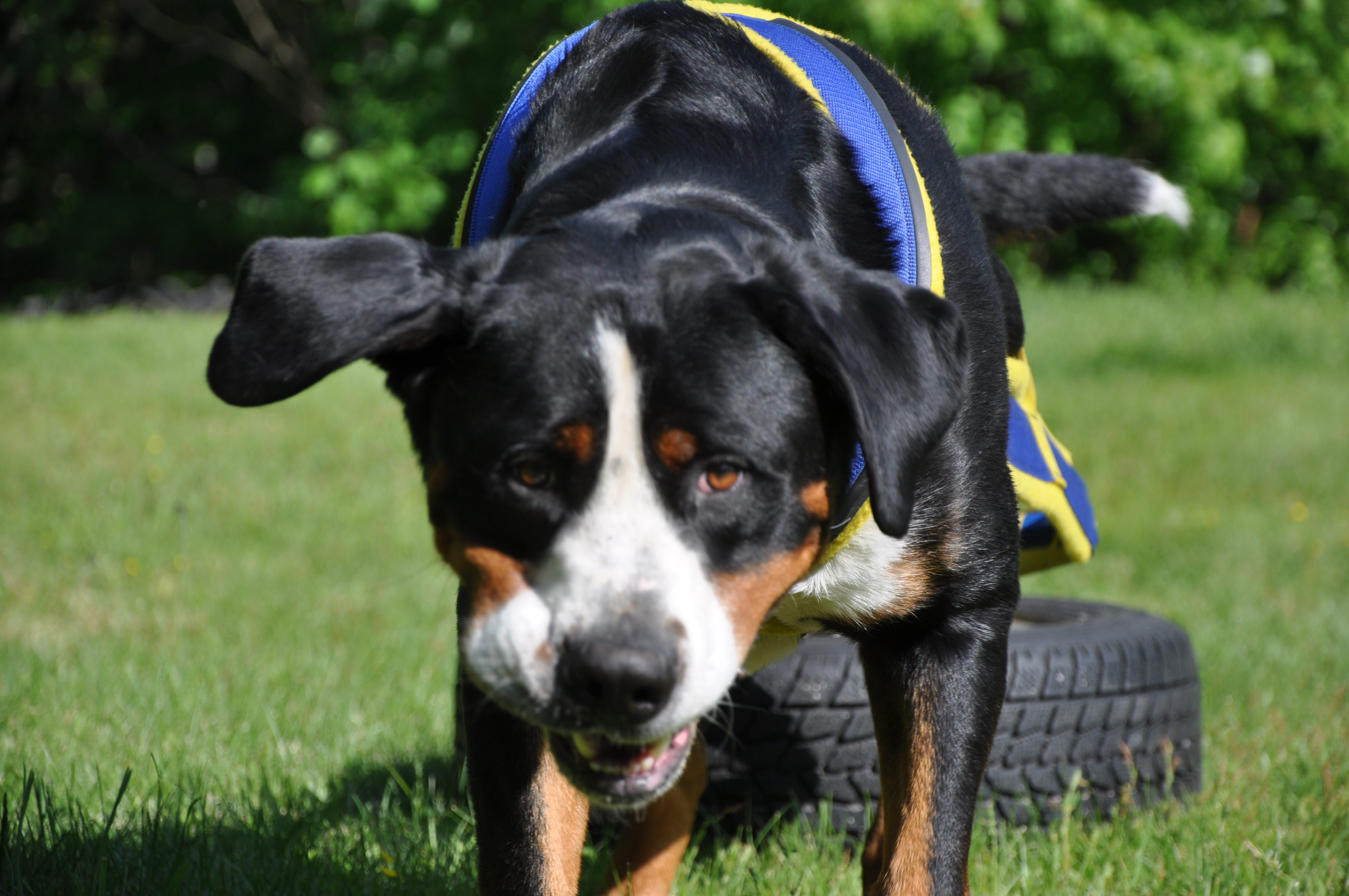 Greater swiss mountain dog pulling - photo#9