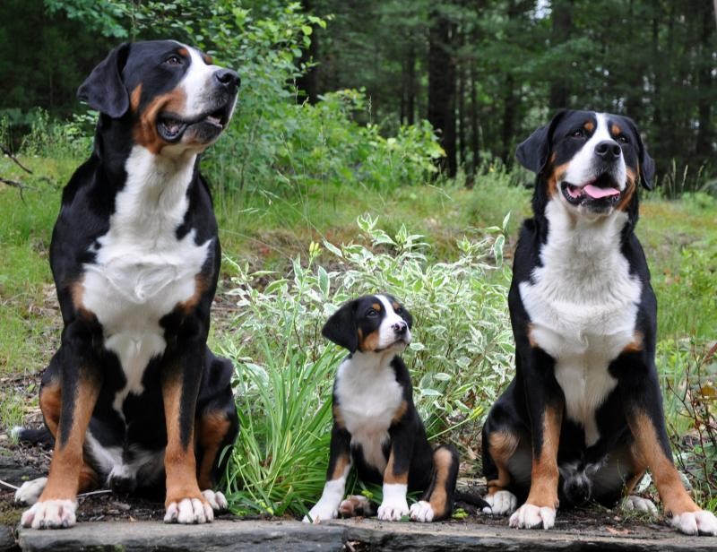 Greater Swiss Mountain Dog Pictures