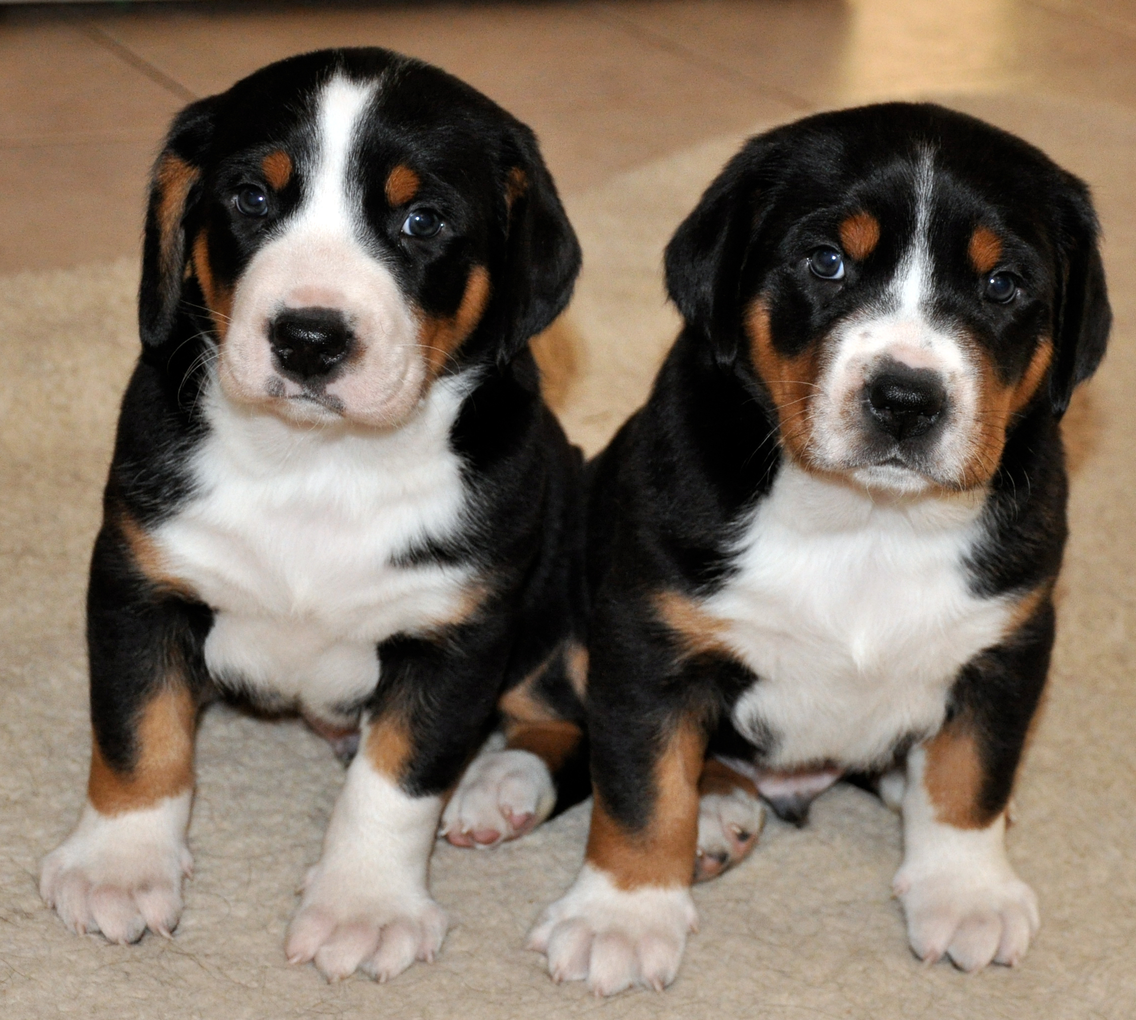 Prism Greater Swiss Mountain Dogs Puppies
