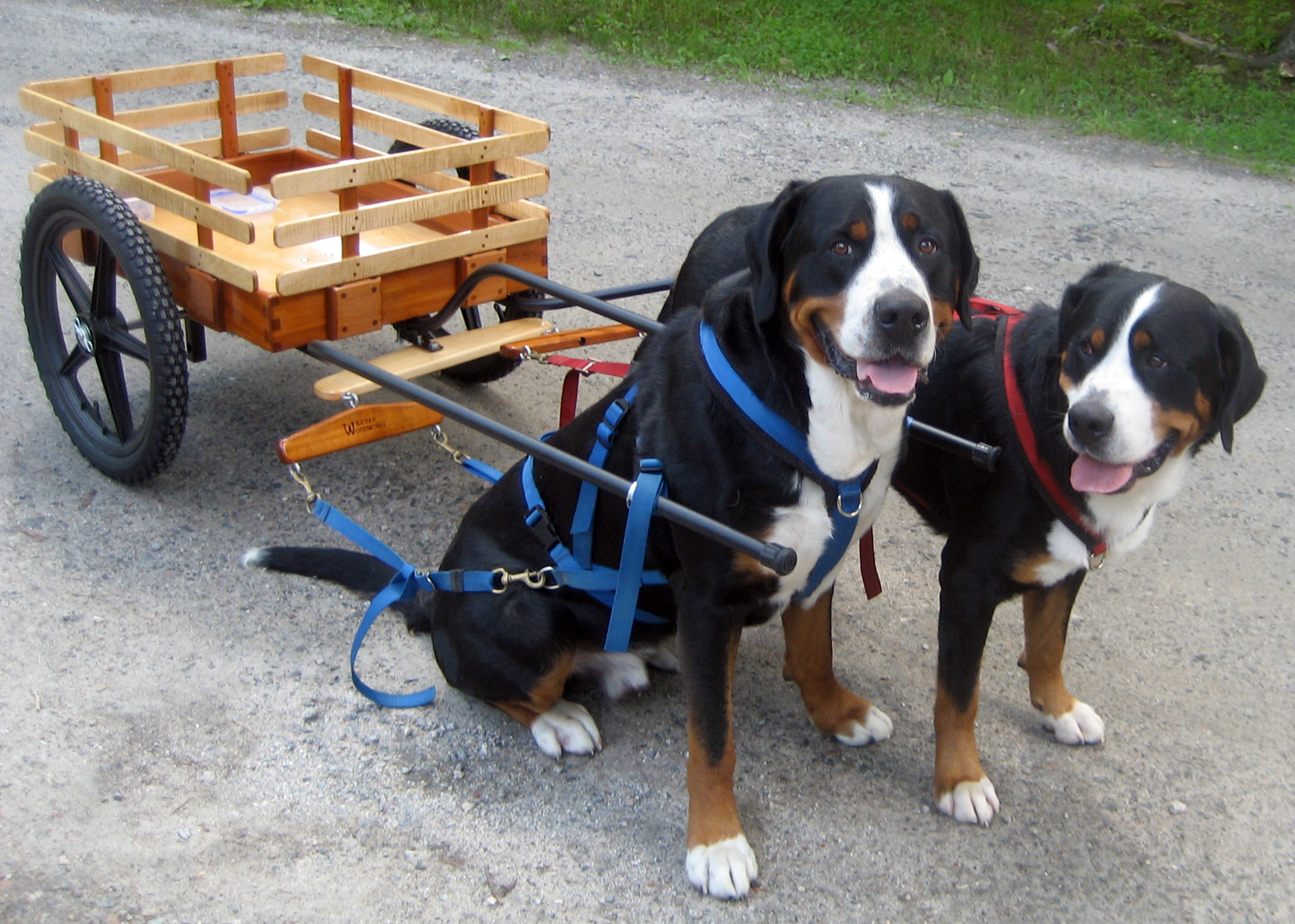 Greater swiss mountain dog pulling - photo#5